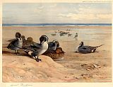Archibald Thorburn Pintails on the Shore painting